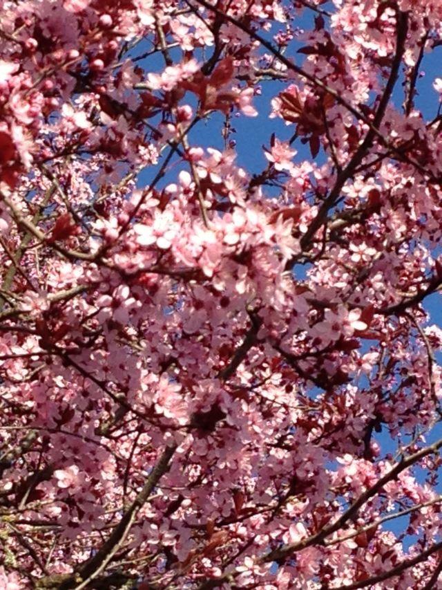 Cherry Blossoms - Davidicus Wong